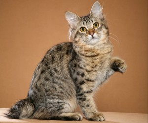 Photos, description of breed American Bobtail cats, characteristic for home breeding and maintenance