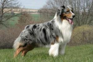 Фото, опис собак Австралійських вівчарок, характеристика породи для домашнього розведення.