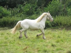 Фото, опис коней породи Бардіджано, характеристика для домашнього розведення і утримання.
