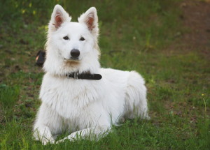 Description White Shepherd, characteristics, content and photos