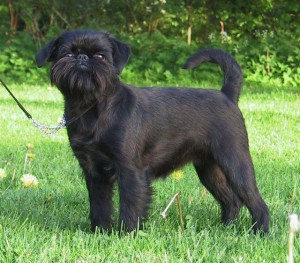 Photos, description dog breed Belgian Griffon, characteristic for home breeding and maintenance