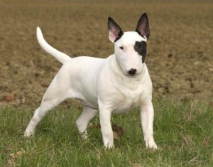 Description and history of the origin of the breed bull terrier, characteristics, content and photos