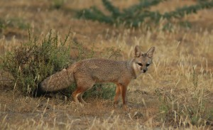 Photos, description Bengal Fox, characteristic of the breed, especially life