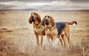Bloodhound breed dogs, description, characteristics and photos