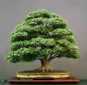 Properly set up the temperature for growing bonsai home
