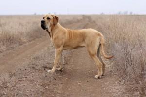 Photos, description dog breed Fila Brasileiro, characteristic for home breeding