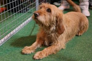Dog breeds Basset bretanskyy (Breton), description, descriptions and photos of Contents