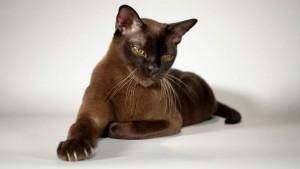 Фото, описание кошек породы Бурманская, характеристика для домашнего разведения и содержания.
