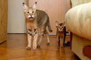 Фото, опис кішок породи Чаузі, характеристика для домашнього розведення і утримання.