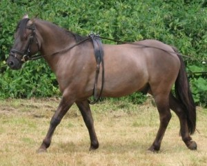 Photos, description breed horses Dulmen, characteristic for home breeding and maintenance