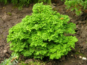 Care cypress in the open soil, planting, cultivation and photos