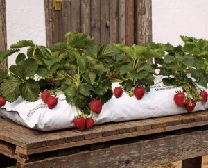Photos, description of the process of planting and cultivation of strawberries in bags, at home, all year round