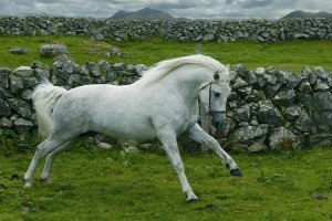 Photos, description horses pony breed Connemara characteristic