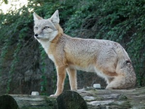 Photos, description steppe breed foxes - Korsak, characteristics and features of life
