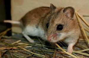 Photos, description krysovidnogo hamster breed characteristics