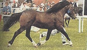 Photos, description horses pony breeds Landiyskie, characteristic for home breeding and maintenance