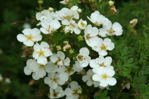 Description and shrubby cinquefoil Care, photo