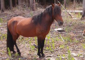 Description and photo pony breed Mingo (Garray) and breeding characteristics