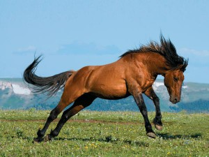 Photos, description wild horses breed Mustang characteristic