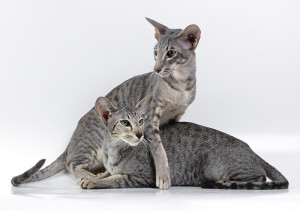 Description breed oriental shorthair cats, characteristics, content and photos