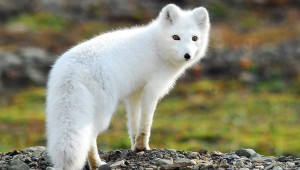 Photos, description of breed fox Arctic fox, beautiful animal, characteristic