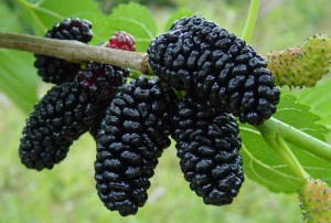 Description and photo Mulberry tree, characteristics, history
