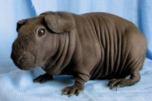 Photos, description bald guinea pig breed Skinny, characteristic for home breeding and maintenance