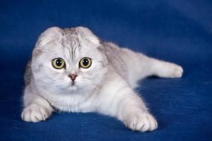 Фото, опис шотландської кішки породи Скоттиш-Фолд, характеристика для домашнього розведення і утримання.