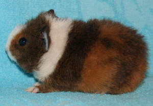 Photos, description guinea pigs breed Somalia, characteristic for home breeding and maintenance
