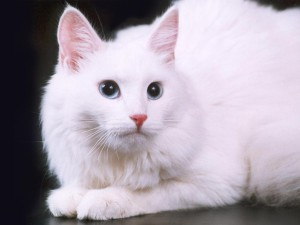 Description of the breed Turkish Angora cat (Angora cat), the nature, content and photos