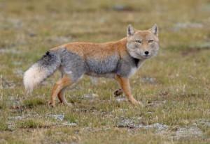 Фото, описание Тибетской лисицы, характеристика породы, особенности жизни.