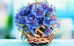 Growing field of cornflowers, description and a photo
