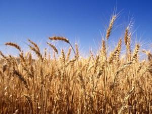 Methods fertilizer of spring wheat, the system description, photos