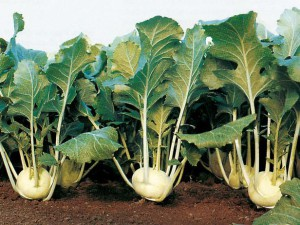 Photos, description Kohlrabi cabbage, planting and cultivation in the open field, proper care at home