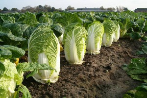 Description planting Photo Chinese cabbage in the open ground at home