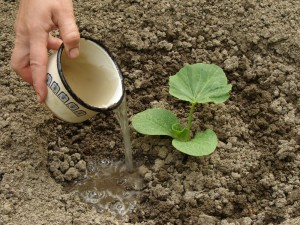 Technology process of planting pumpkin seeds in open ground, photos, description of cultivation