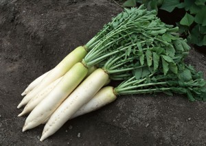 Photos, description and cultivation technology of planting Japanese Daikon radishes in the open ground