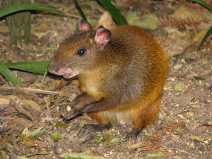 Description agouti guinea pigs, characterization, home contents and photos