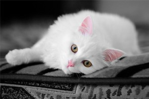 Description cats Anatolian breed characteristics, content and photos