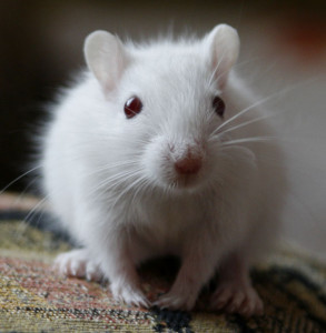 Description white gerbil with white eyes, characteristics, content and photos
