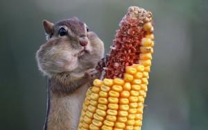 Squirrels, description, characteristics, habitat, and photos