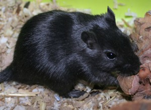 Description black gerbils, characteristics, content and photos