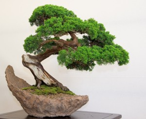Tips for building bonsai crust without wire, description and a photo