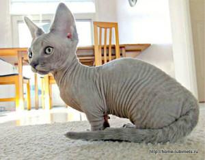 Description cats breed minskin, characteristics, content and photos