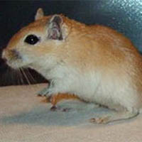 Description dark-eyed honey gerbil, characteristics, content and photos