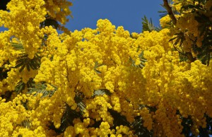 Mimosa plant, care, cultivation, description and a photo