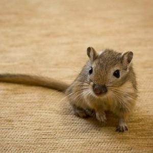 Description mice, gerbils, characteristics, maintenance, care of gerbils, photos