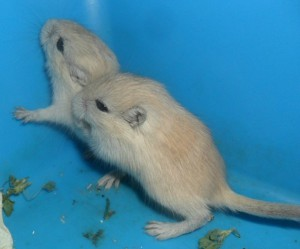 Gerbils silver nutmeg, characteristics, content, description and a photo