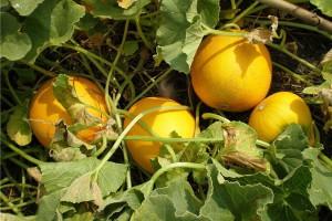 Photos, description melon planting schemes in the open ground, growing technology
