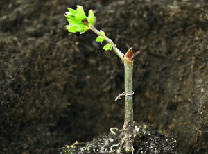 Grafting trees in the summer and spring, the timing of vaccinations, description and a photo